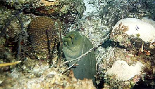 Green Moray Eel (Gymnothorax sp.) <!--곰치류-->; Image ONLY