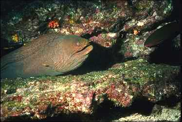 Moray Eel (Gymnothorax sp.) <!--곰치류-->; Image ONLY