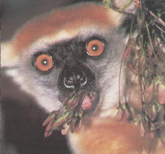 Golden-crowned Sifaka (Propithecus tattersalli) {!--금머리시파카(여우원숭이류)-->; Image ONLY