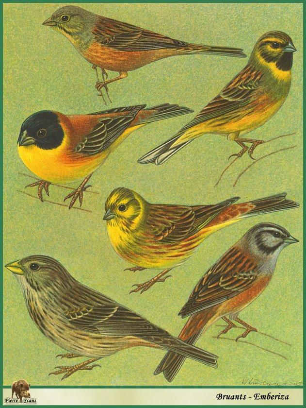 Buntings (Emberiza sp.) <!--멧새류-->; Image ONLY