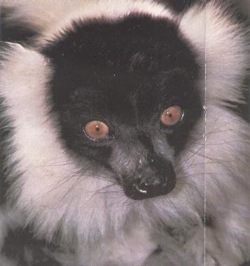 Black-and-white Ruffed Lemur (Varecia variegata) {!--목도리여우원숭이-->; Image ONLY