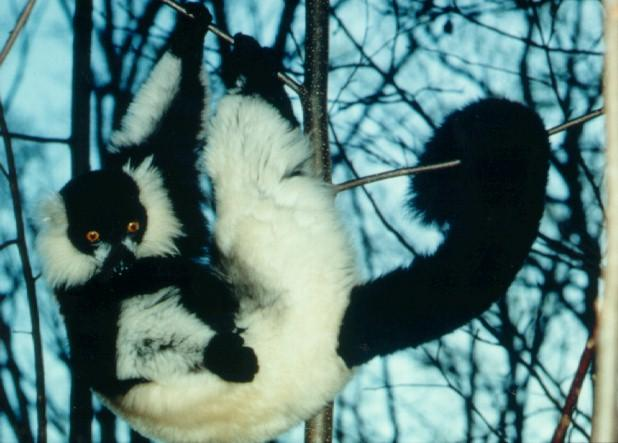 Black-and-white Ruffed Lemur (Varecia variegata) <!--목도리여우원숭이-->; Image ONLY