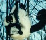 Ruffed Lemur.jpg