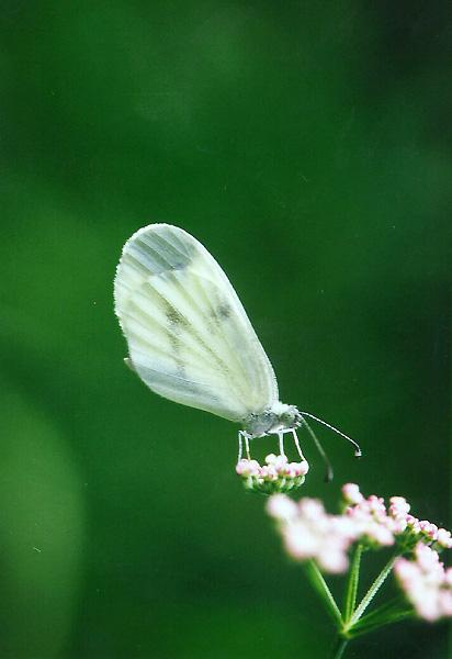 Wood White Butterfly (Leptidea sinapis) <!--유럽기생나비(영국)-->; Image ONLY
