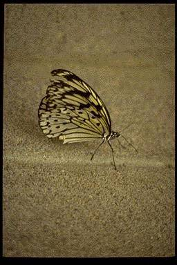 Tree Nymph Butterfly (Idea leuconoe) <!--왕얼룩나비(동남아시아)-->; Image ONLY