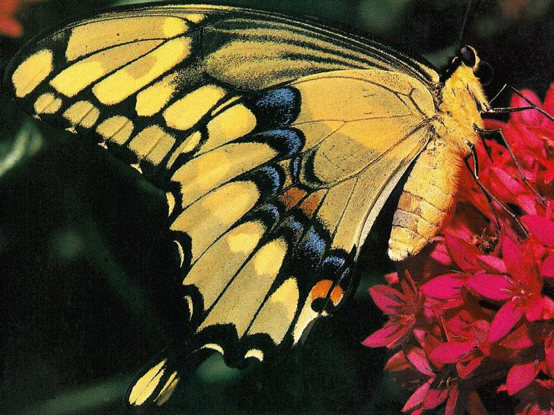 Common Swallowtail Butterfly (Papilio machaon) <!--산호랑나비(호랑나비과)-->; DISPLAY FULL IMAGE.