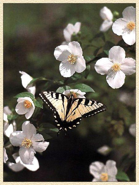 Tiger Swallowtail Butterfly (Papilio sp.) <!--호랑나비과(북아메리카)-->; Image ONLY