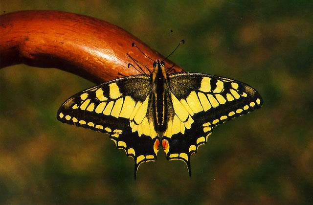 Common Swallowtail Butterfly (Papilio machaon) <!--산호랑나비(호랑나비과)-->; Image ONLY