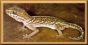 Madagascar Ground Gecko / Malagasy Ground Gecko (Paroedura picta) <!--마다가스카르땅도마뱀붙이-->; Image ONLY