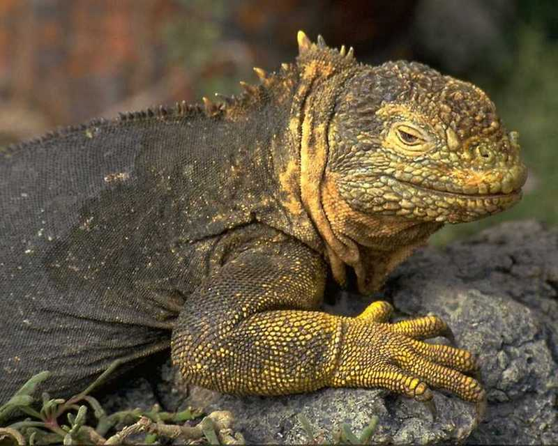 Land Iguana (Conolophus subcristatus) <!--육지이구아나-->; DISPLAY FULL IMAGE.