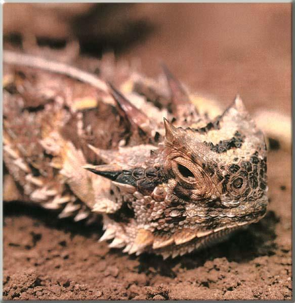 Horned Lizard (Phrynosoma sp.) <!--뿔도마뱀류-->; Image ONLY