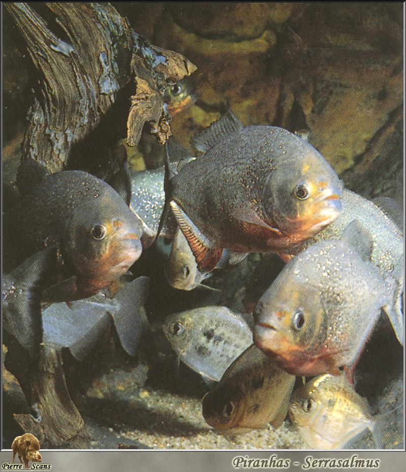 Red-bellied Piranha (Pygocentrus nattereri) <!--붉은배피라냐-->; Image ONLY