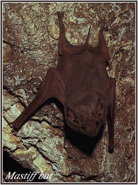 Eastern Little Mastiff Bat (Mormopterus norfolkensis) <!--노포크박쥐-->; Image ONLY