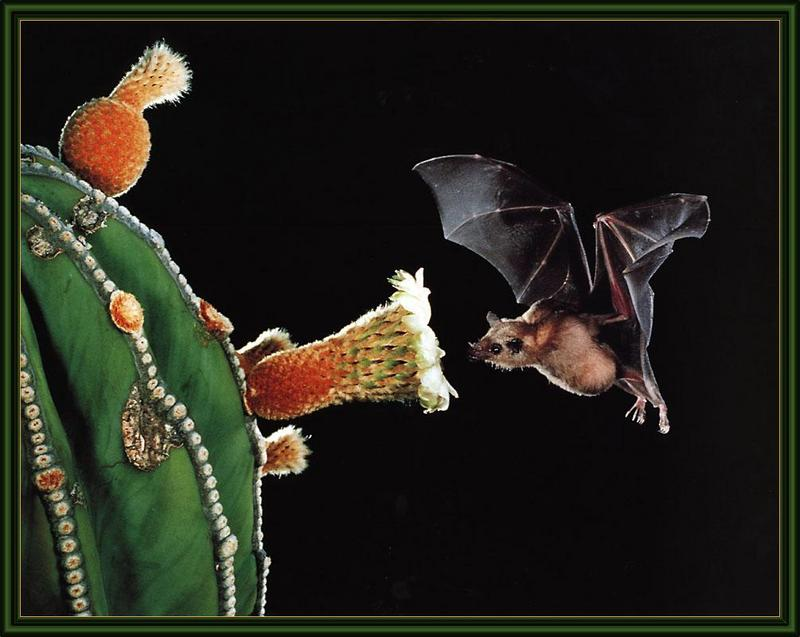 Lesser Long-nosed Bat (Leptonycteris curasoae) <!--남방긴코박쥐-->; DISPLAY FULL IMAGE.