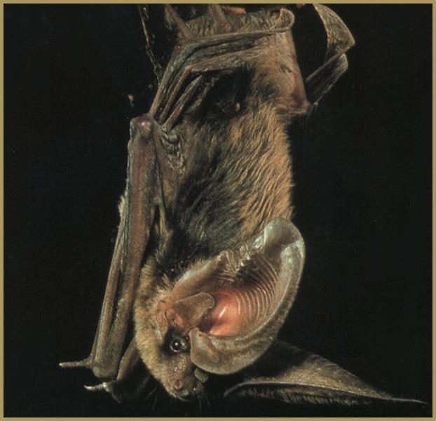 Allen's Big-eared Bat (Idionycteris phyllotis) <!--알렌토끼박쥐-->; Image ONLY