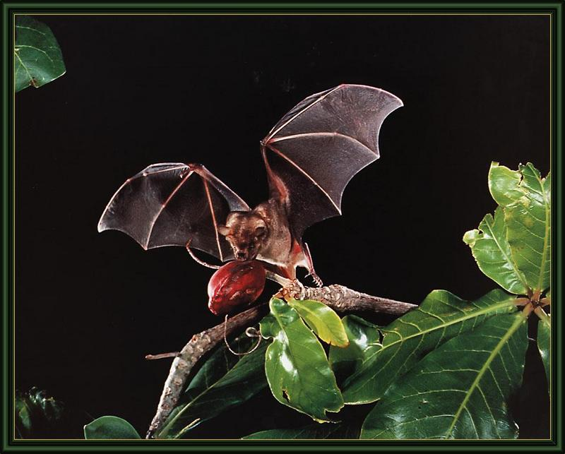 Jamaican Fruit-eating Bat (Artibeus jamaicensis) <!--자메이카큰박쥐-->; DISPLAY FULL IMAGE.