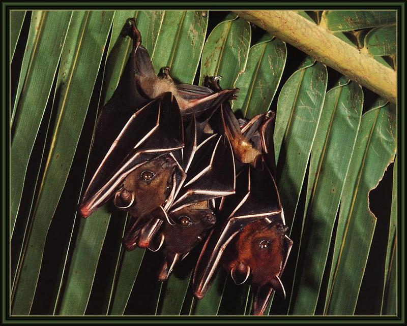 Lesser Short-nosed Fruit Bat (Cynopterus brachyotis) <!--인도개과일박쥐-->; DISPLAY FULL IMAGE.