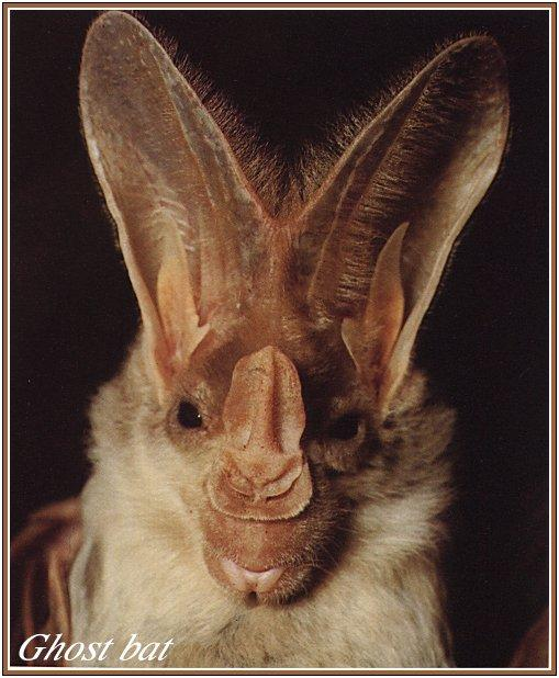 Australian False Vampire Bat / Ghost Bat (Macroderma gigas) <!--유령박쥐(호주)-->; Image ONLY