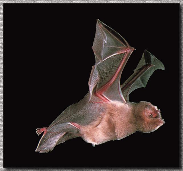 Ghost-faced Bat (Mormoops megalophylla) <!--유령얼굴박쥐(아메리카)-->; Image ONLY