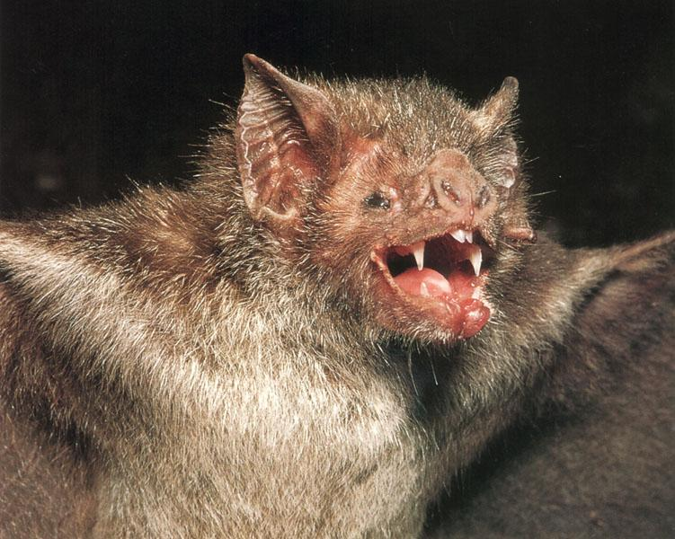 Common Vampire Bat (Desmodus rotundus) <!--흡혈박쥐(아메리카)-->; Image ONLY