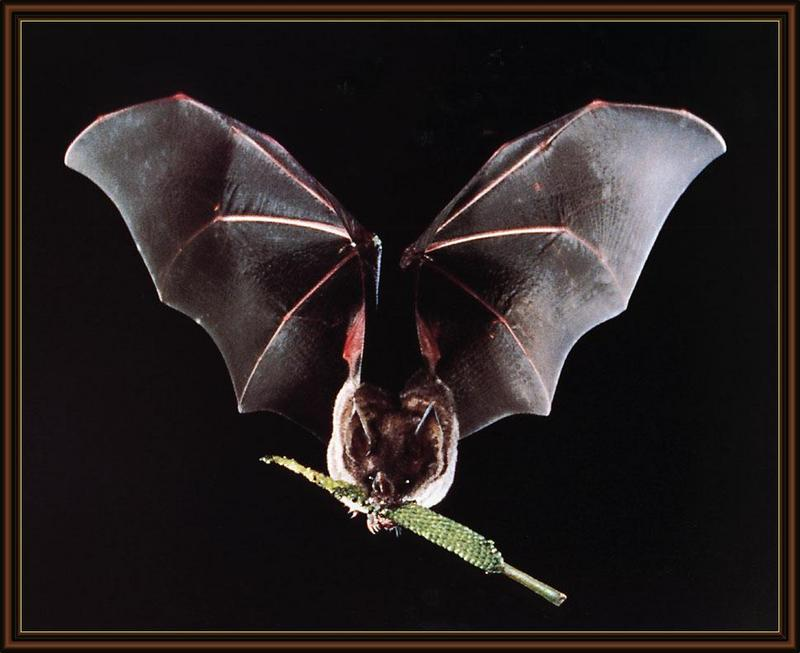Seba's Short-tailed Bat (Carollia perspicillata) <!--세바짧은꼬리박쥐(남아메리카)-->; DISPLAY FULL IMAGE.