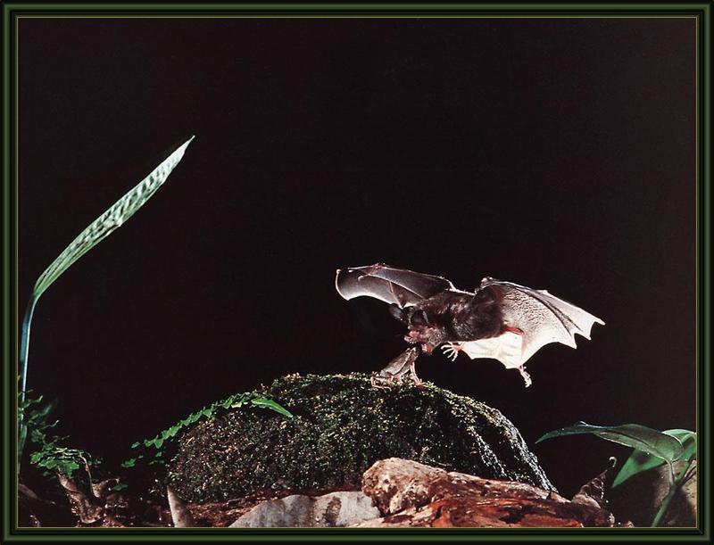 ksw-merlin tuttle-bats-aug99-frog-eating bat.jpg