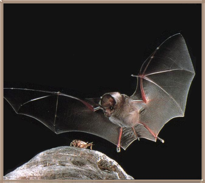 California Leaf-nosed Bat (Macrotus californicus) <!--캘리포니아잎코박쥐(북아메리카)-->; Image ONLY