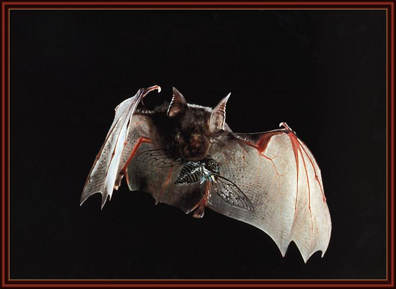 Horseshoe Bat (Rhinolophus sp.) <!--관박쥐류-->; DISPLAY FULL IMAGE.