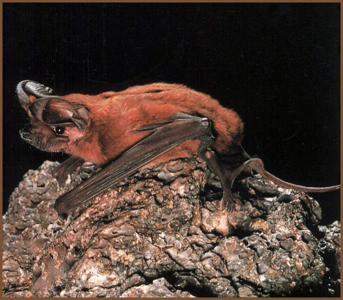 Big Free-tailed Bat (Nyctinomops macrotis) <!--아메리카큰귀박쥐-->; Image ONLY