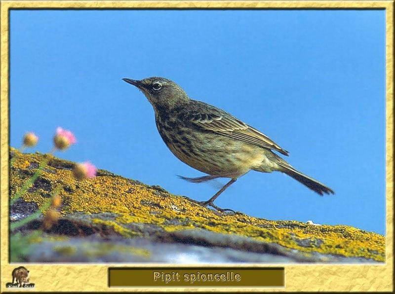 Water Pipit (Anthus spinoletta) <!--물종다리-->; DISPLAY FULL IMAGE.