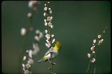 Japanese White-eye (Zosterops japonica) <!--동박새(일본)-->; Image ONLY