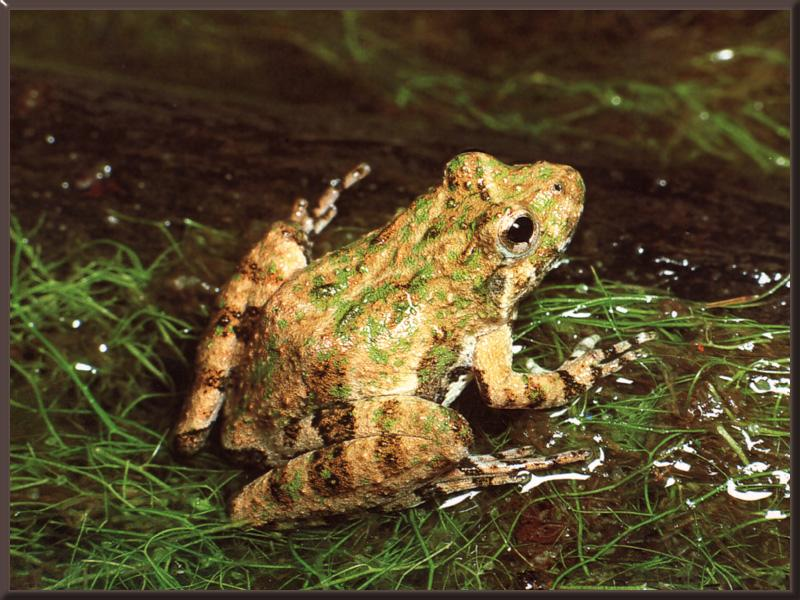 Northern Cricket Frog (Acris crepitans) {!--귀뚜라미개구리(미국)-->; Image ONLY