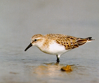 좀도요 Calidris ruficollis (Red-necked Stint); Image ONLY