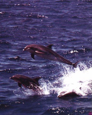 BottleNosed Dolphins Flying.jpg