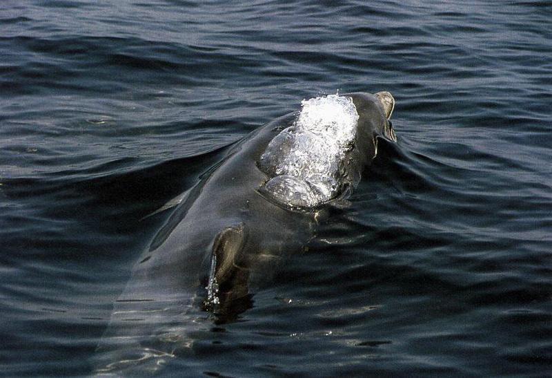 BottleNosed Dolphin 06-Back Fountain.jpg