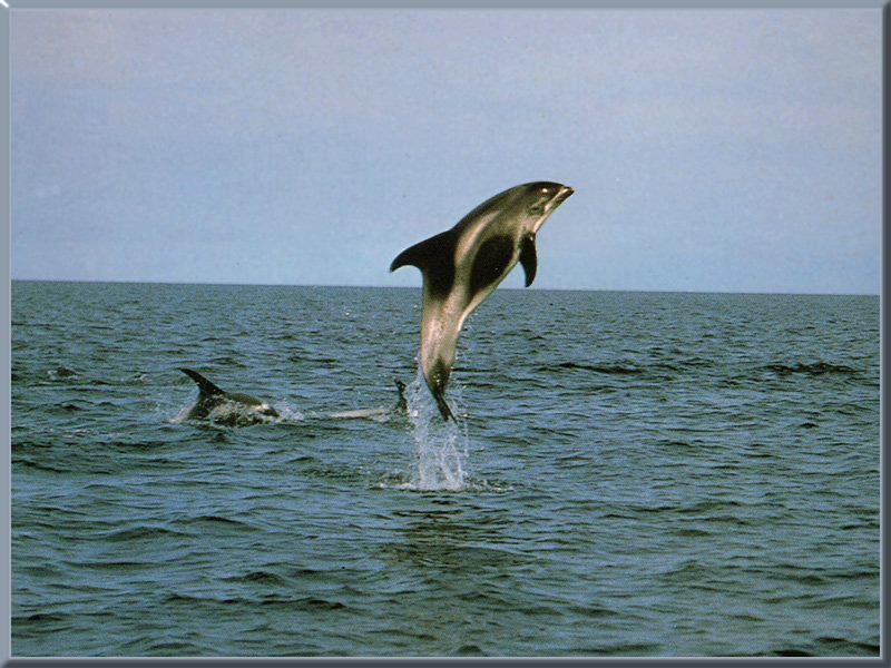 White-breasted Dolphin (specied unidentified); Image ONLY