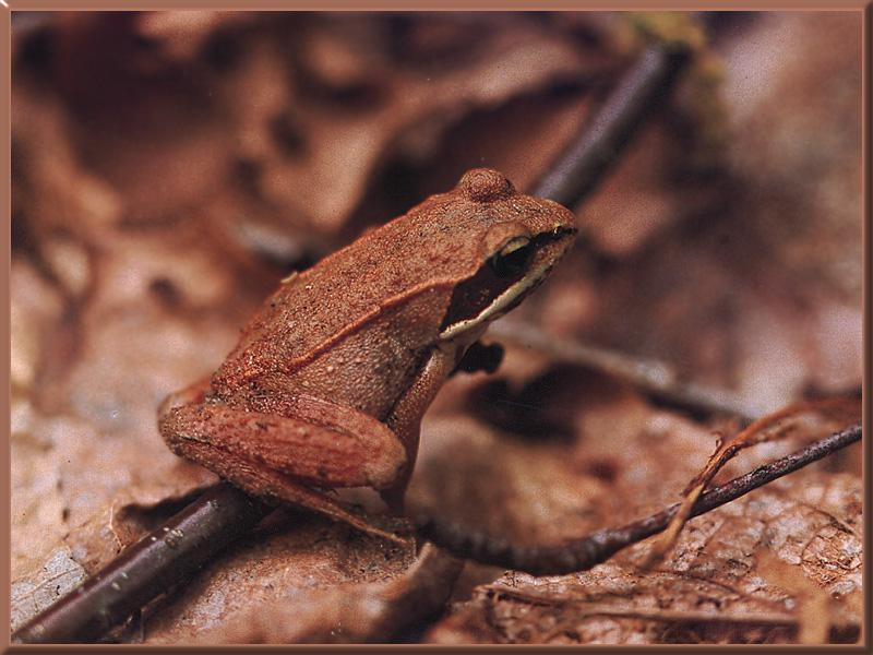 Wood Frog (Rana sylvatica) <!--송장개구리-->; Image ONLY