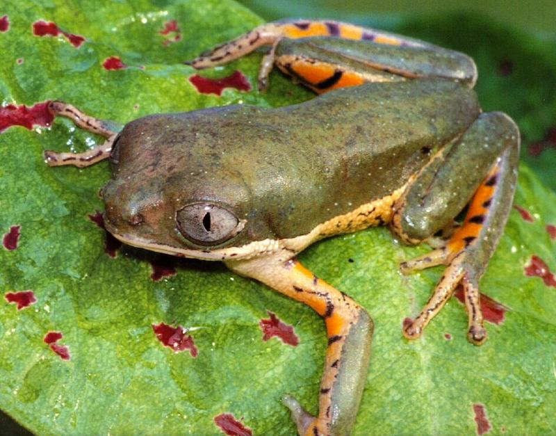 frog9919-Tiger Striped Monkey Frog.jpg