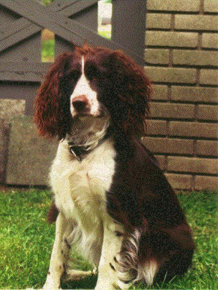 Dog - English Springer Spaniel (Canis lupus familiaris); Image ONLY