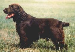 Dog - Field Spaniel (Canis lupus familiaris); Image ONLY