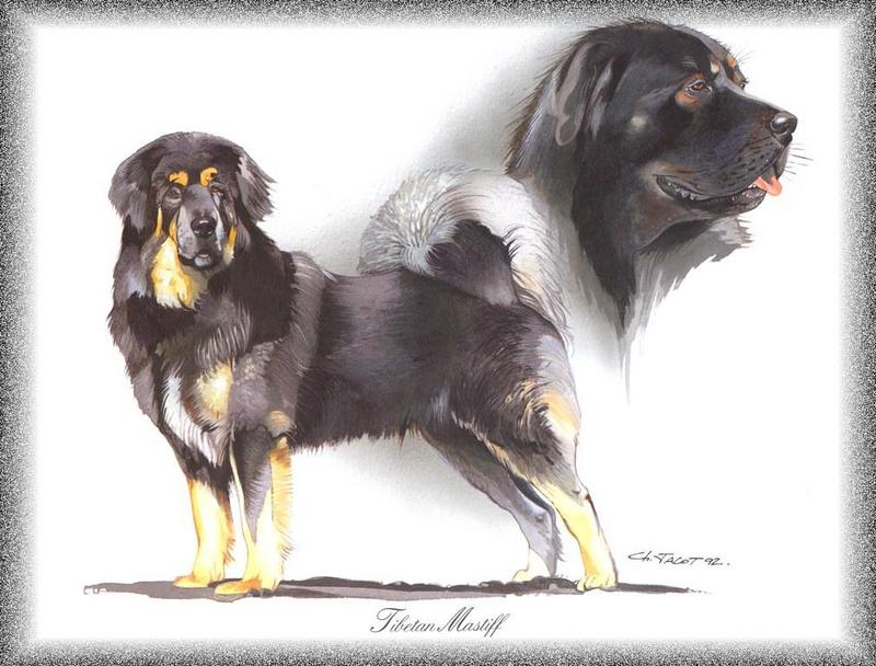 Dog - Tibetan Mastiff (Canis lupus familiaris); DISPLAY FULL IMAGE.
