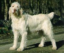 Dog - Spinone Italiano (Canis lupus familiaris); Image ONLY