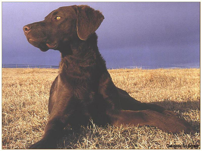 Dog - Chesapeake Bay Retriever (Canis lupus familiaris); DISPLAY FULL IMAGE.