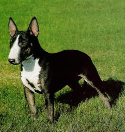 Dog - Miniature Bull Terrier (Canis lupus familiaris); Image ONLY