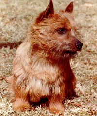 Dog - Norwich Terrier (Canis lupus familiaris); Image ONLY