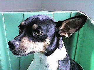 Dog - Rat Terrier (Canis lupus familiaris); Image ONLY