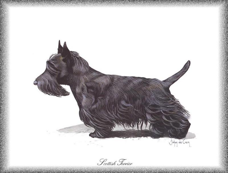 Dog - Scottish Terrier (Canis lupus familiaris); DISPLAY FULL IMAGE.