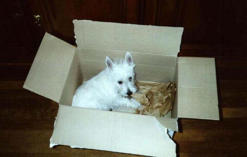Dog - West Highland White Terrier (Canis lupus familiaris); DISPLAY FULL IMAGE.