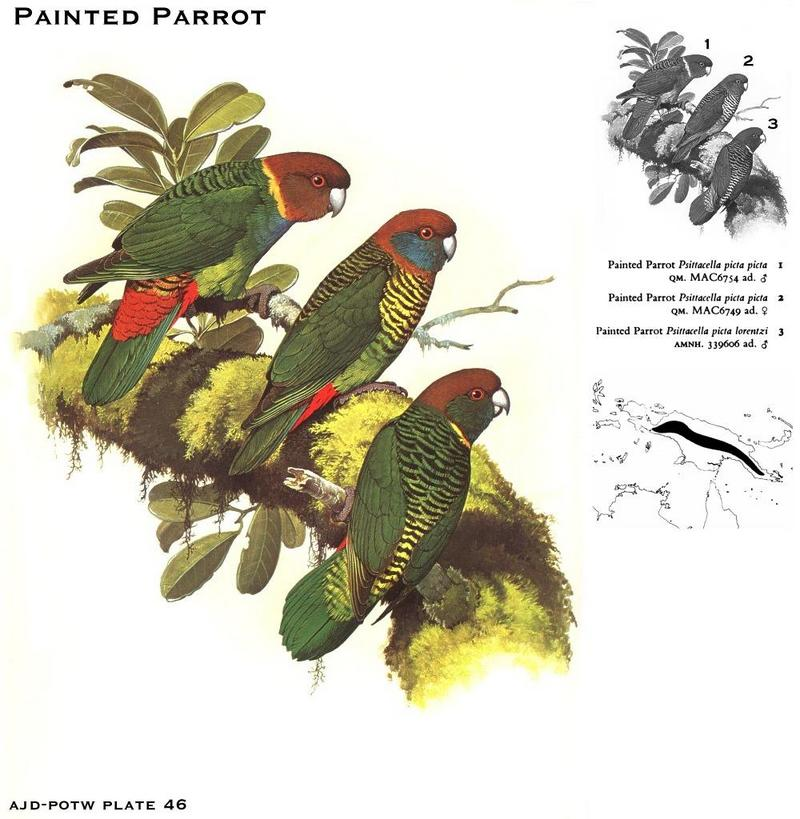 Painted Parrot (Psittacella picta) {!--오색앵무-->; DISPLAY FULL IMAGE.
