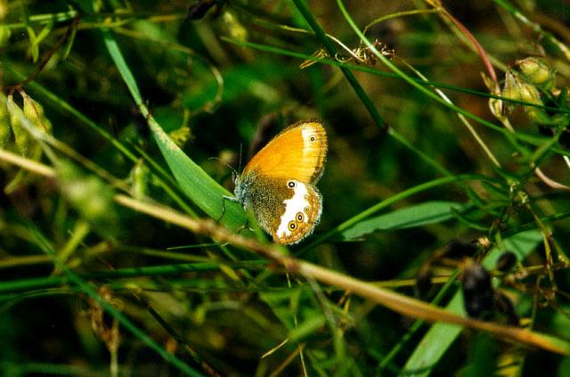 Pearly Heath (Coenonympha arcania) <!--북미산 처녀나비류-->; Image ONLY